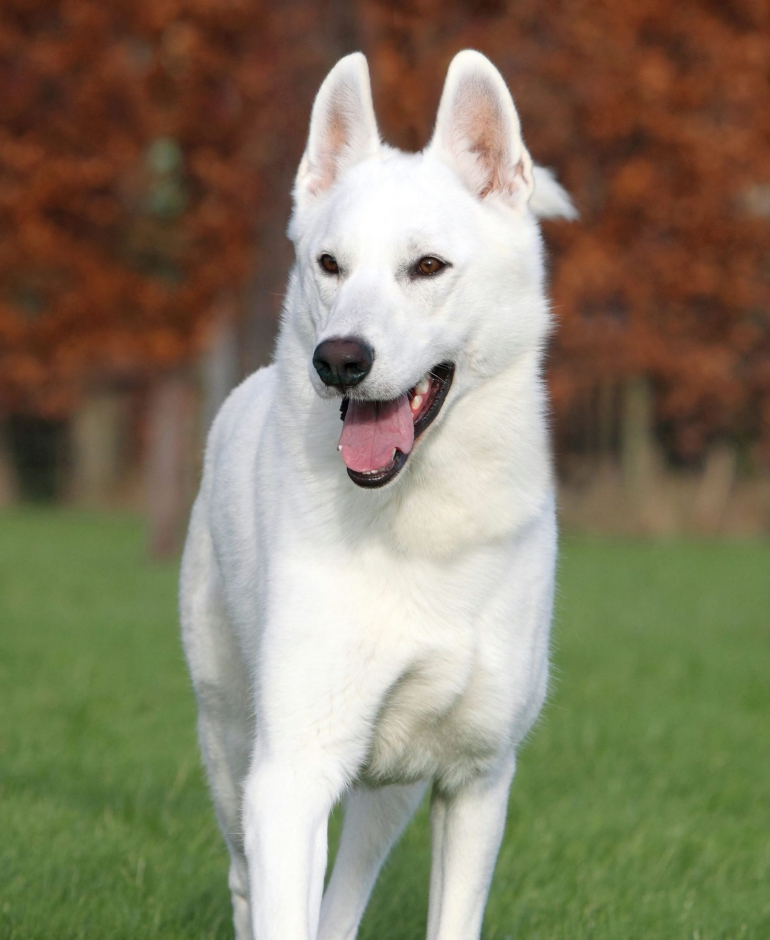White Swiss Shepherd Puppies - Born to Win Warrior JetFire x Estevao Lothian Taglischindorf 2