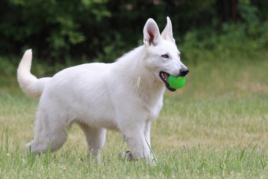 White Swiss Shepherd Puppies - Born to Win Warrior JetFire x Estevao Lothian Taglischindorf 1