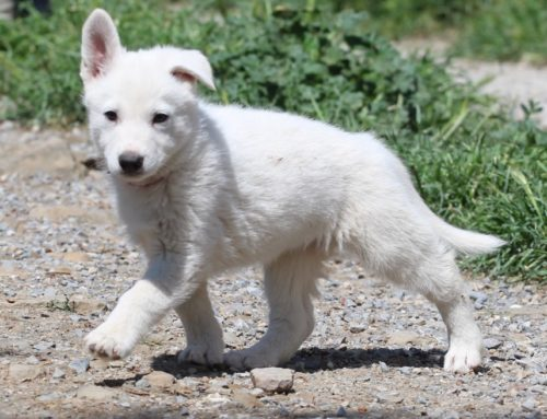 White Swiss Shepherd Puppies – Born to Win Warrior Windsor x Estevao Lothian Taglischindorf