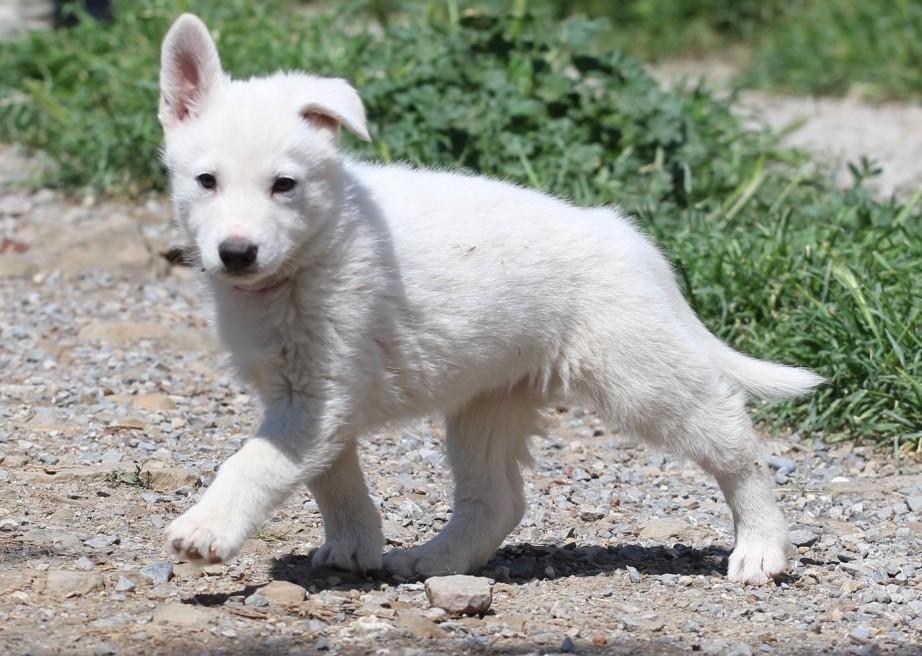 White Swiss Shepherd Puppies – Born to Win Warrior Windsor x Estevao Lothian Taglischindorf 8