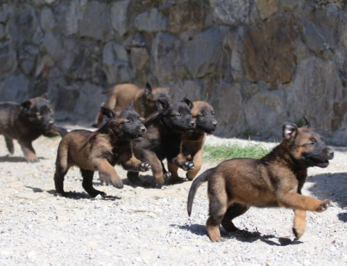 KNPV line Belgian Shepherd Malinois Puppies for Sale