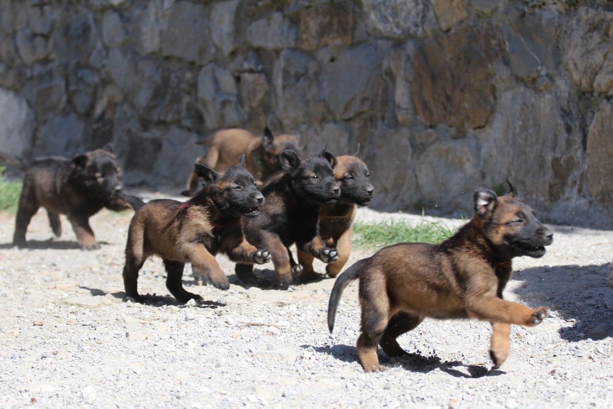 KNPV line Belgian Shepherd Malinois Puppies for Sale 1