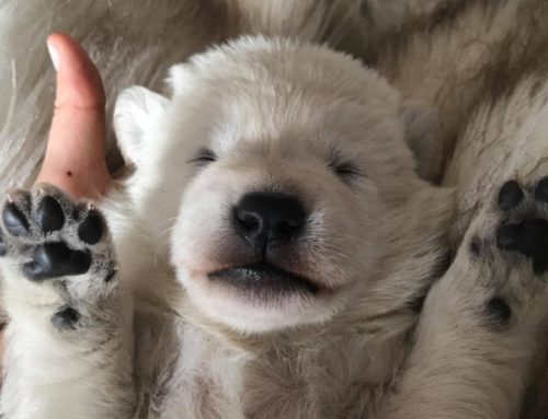 White Swiss Shepherd Puppies – Born to Win White Ultrafire X Born to Win White Viking