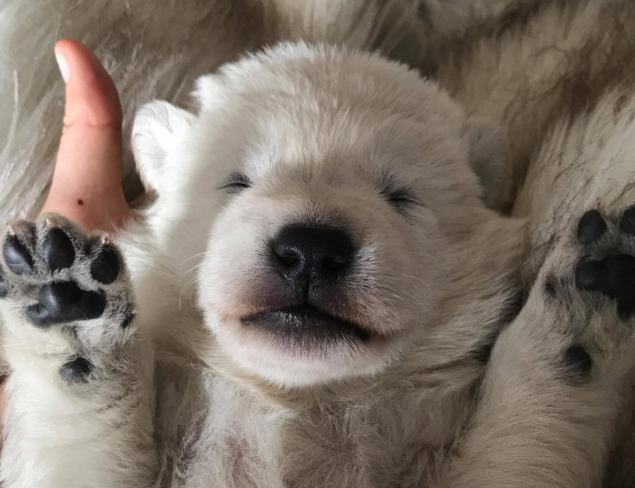 White Swiss Shepherd Puppies - Born to Win White Ultrafire X Born to Win White Viking 6