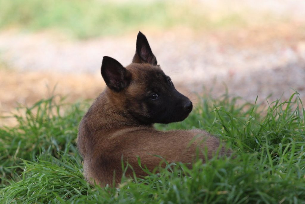 Malinois Puppy Available 6