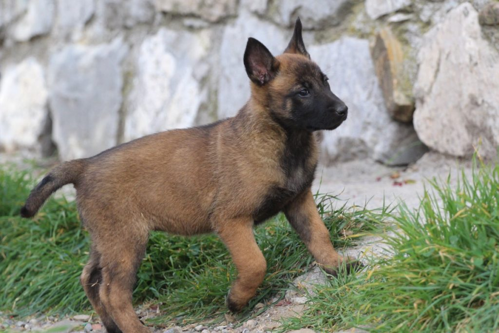 Malinois Puppy Available 5