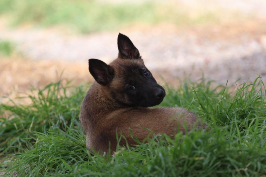 Malinois Puppy Available 1