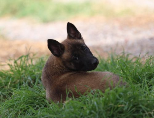 Malinois Puppy Available