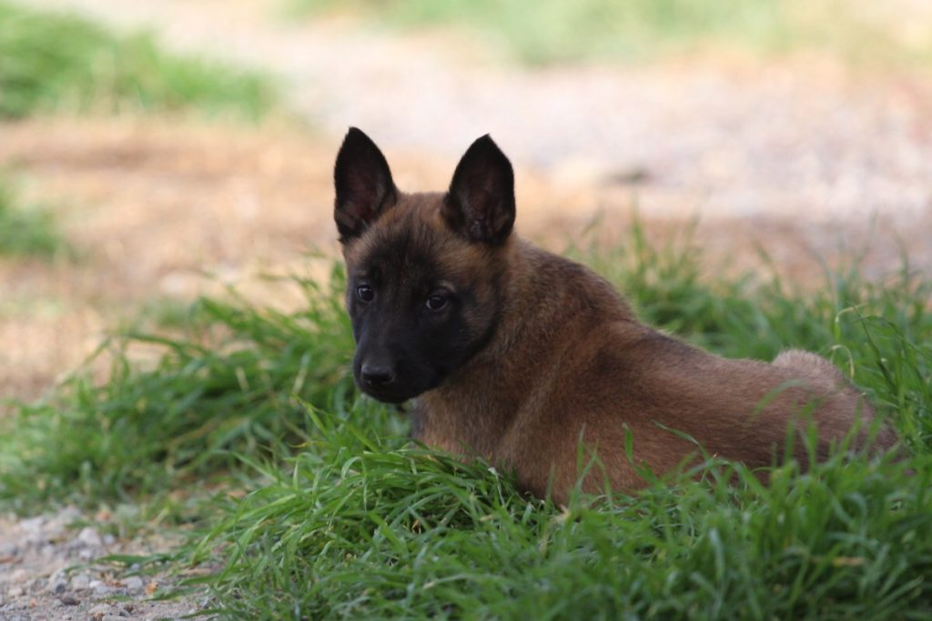 Malinois Puppy Available 2