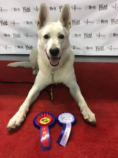 Born to Win White Zorro Puppy Favorit INCREDIBLE DOG VP, BEST PUPPY OF BREED and at MAIN RING OF BABY he got 2-nd place 44