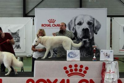 Born to Win White Zorro Puppy Favorit INCREDIBLE DOG VP, BEST PUPPY OF BREED and at MAIN RING OF BABY he got 2-nd place 39