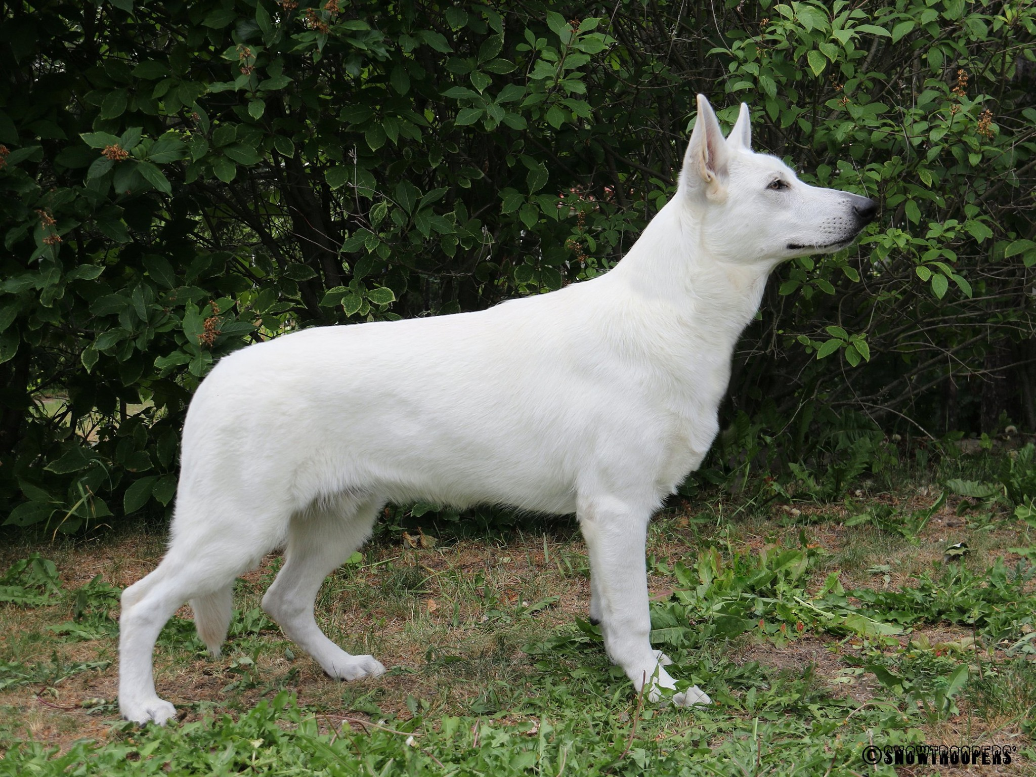 Born to Win White Prince Best in Show Puppy 1 1