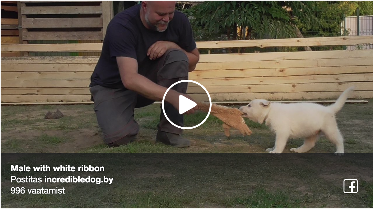 White Swiss Shepherd Puppies in Belarus out of Born to Win Warrior Zorro 34