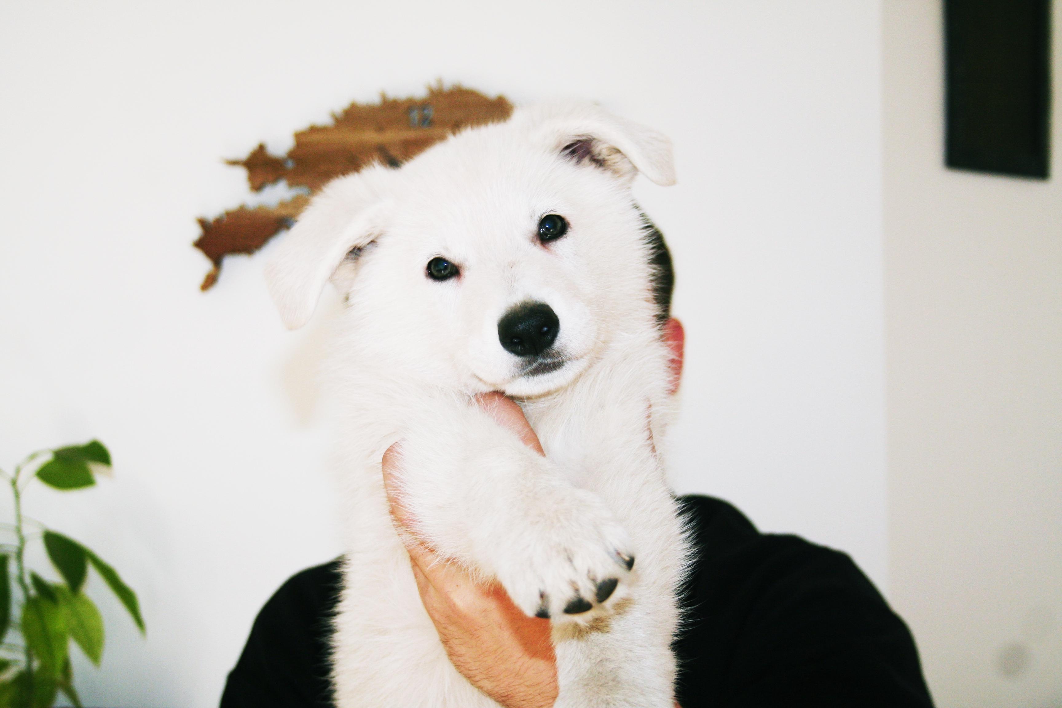 White Swiss Shepherd Puppies – Born to Win White Zal x Born to Win Warrior Apollo 25