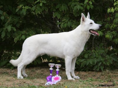 Born to Win White Zorro Puppy Favorit INCREDIBLE DOG VP, BEST PUPPY OF BREED and at MAIN RING OF BABY he got 2-nd place 29