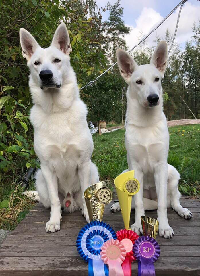 Born to Win White Prince FIN CAC and Best Male 2 in a Dog Show in Finland! 1