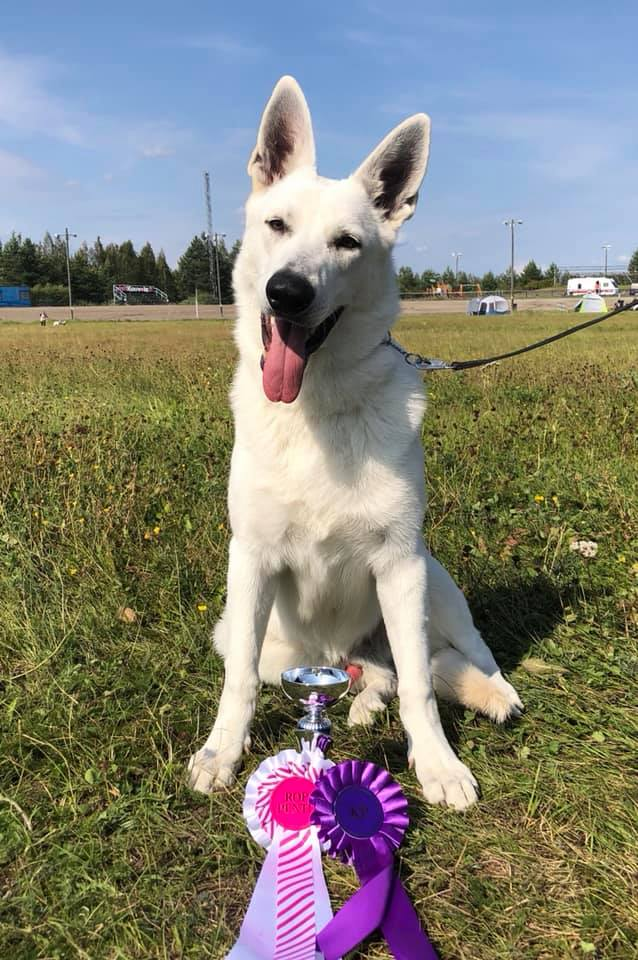 Born to Win White Prince in Finland Best of Breed Puppy 30