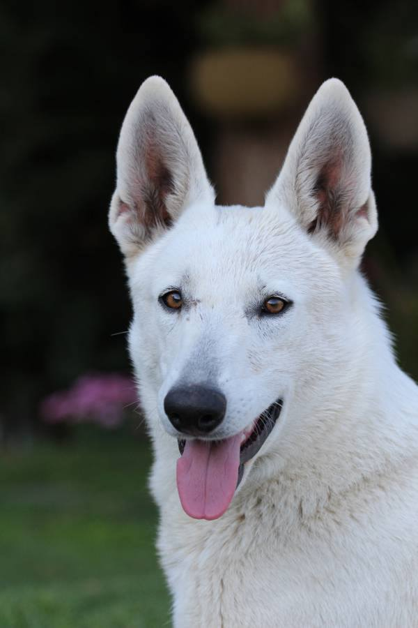 White Swiss Shepherd Puppies - Monaco, Italy, France, Riviera, Cote d'Azur, Liguria, Imperia 1