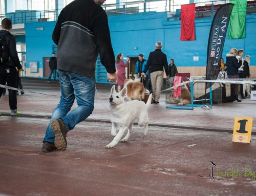 Born to Win White Zorro Puppy Favorit INCREDIBLE DOG VP, BEST PUPPY OF BREED and at MAIN RING OF BABY he got 2-nd place