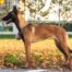 KNPV line Belgian Shepherd Malinois Puppies for Sale 6