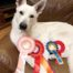 Born to Win Warrior Artemisia 1 place in EVLÜ Mini Cup 3 level obedience 11