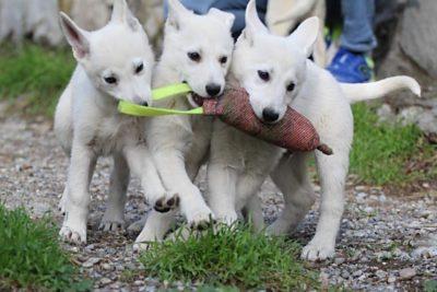 White Shepherd Puppies BTWW Spartans