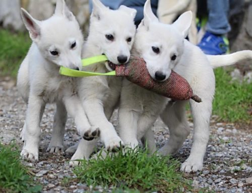 White Shepherd Puppies for Dog Sport, Dog Show and Best Friend