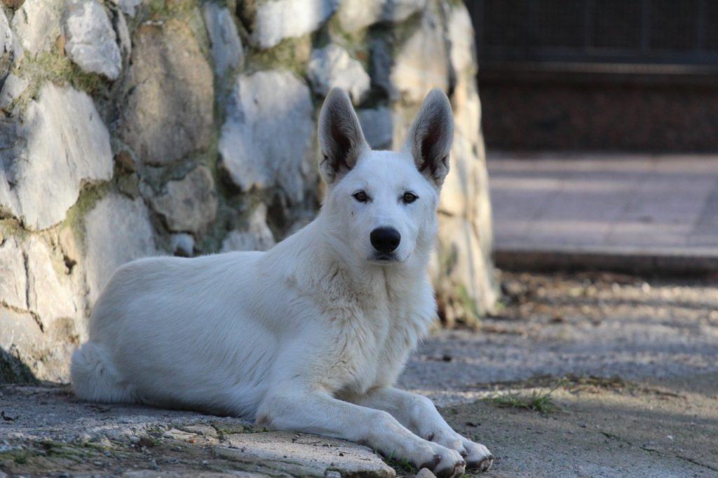 White Shepherd Puppy Born to Win Warrior Napoleone