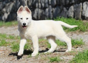 BTWW - Born to Win Warrior White Swiss Shepherd & Belgian Shepherd Malinois 8
