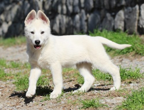 White Swiss Shepherd Puppies – Monaco, Italy, France, Riviera, Cote d'Azur, Liguria, Imperia