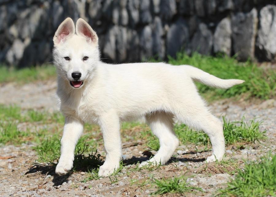 White Swiss Shepherd Puppies - Monaco, Italy, France, Riviera, Cote d'Azur, Liguria, Imperia 1