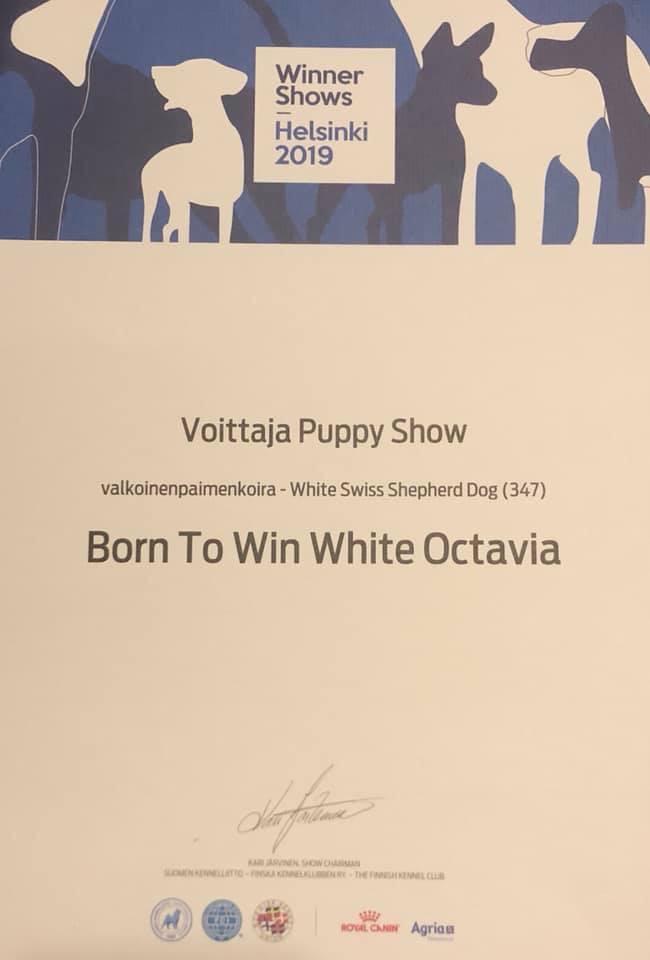Helsinki Winner Valkoinen Paimenkoira
