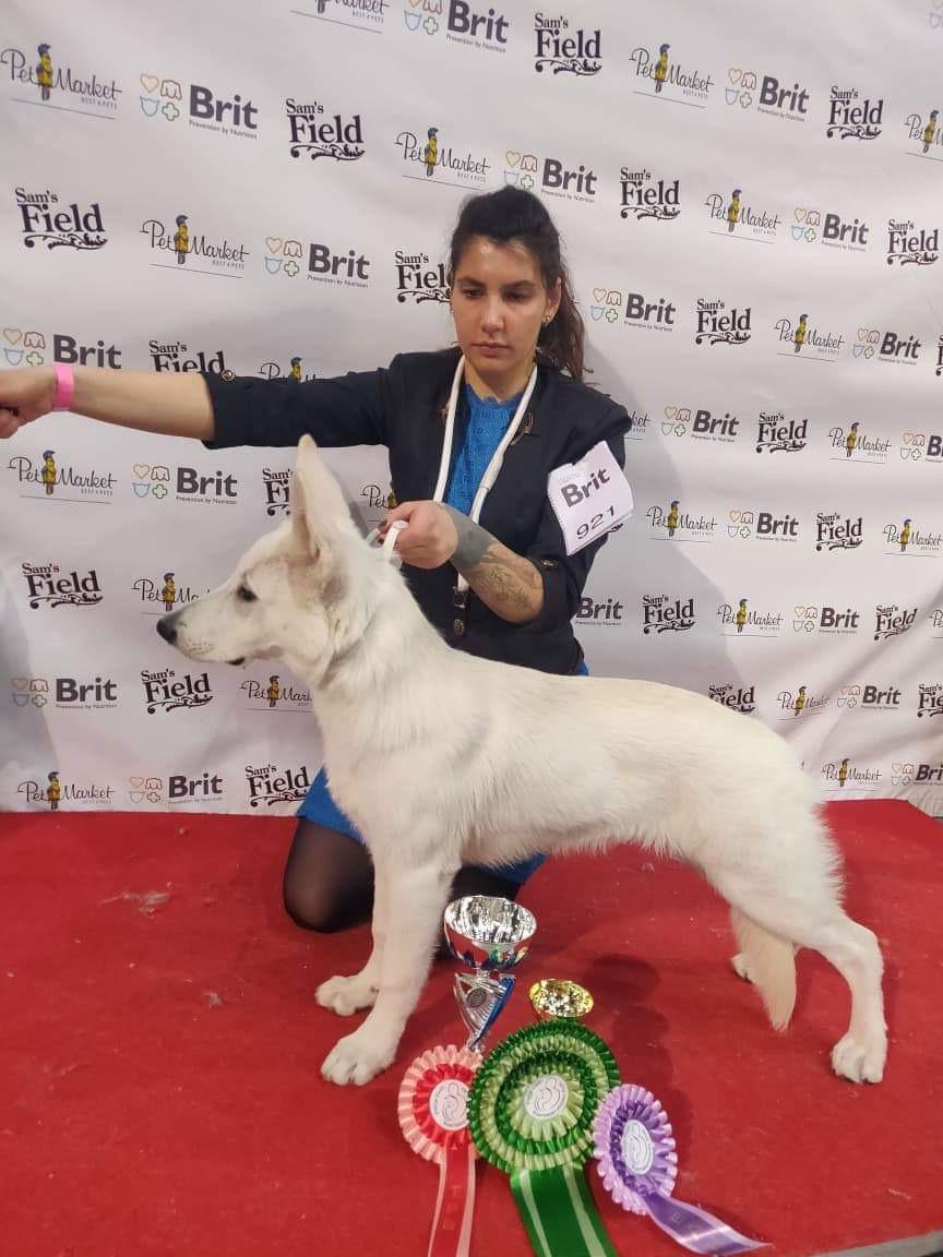 White Swiss Shepherd Puppy Best in Show Puppy