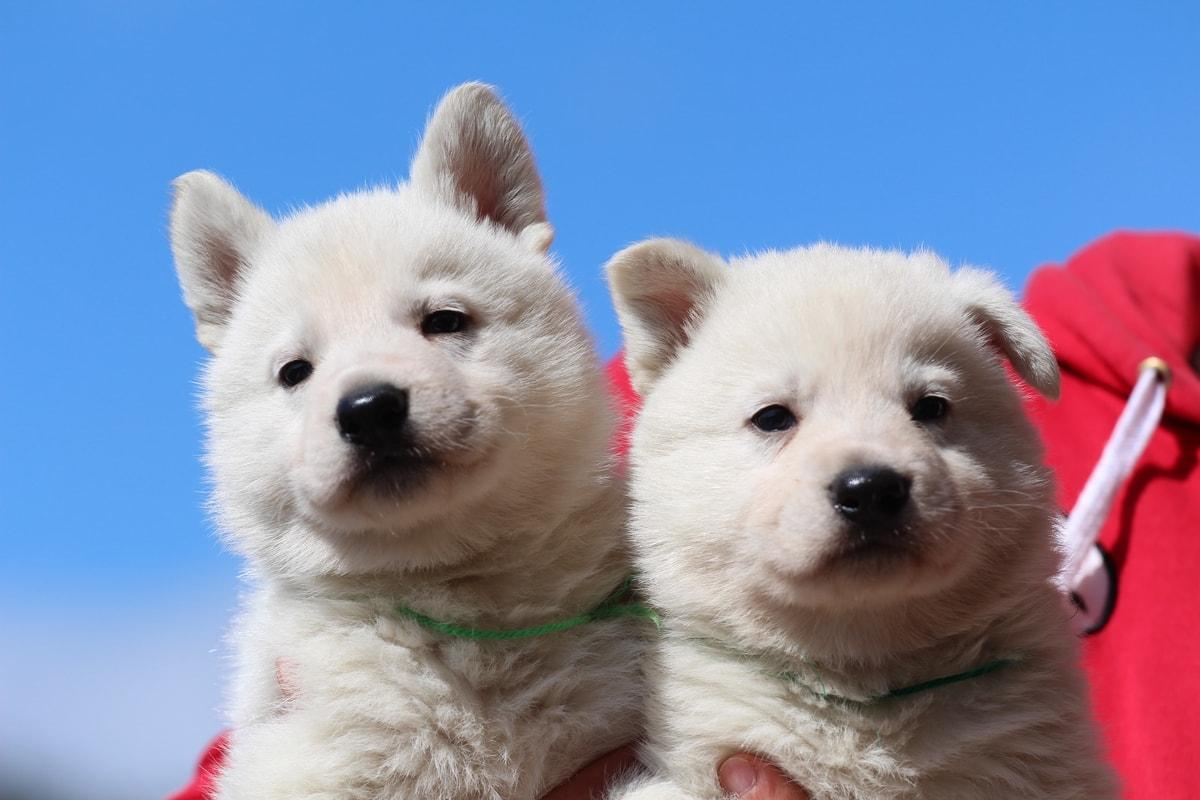 Berger Blanc Suisse Chiots BTWW Theodosians