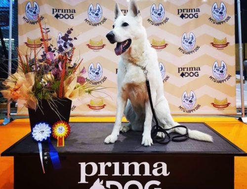 Dog Show Best of Breed Champion White Shepherd