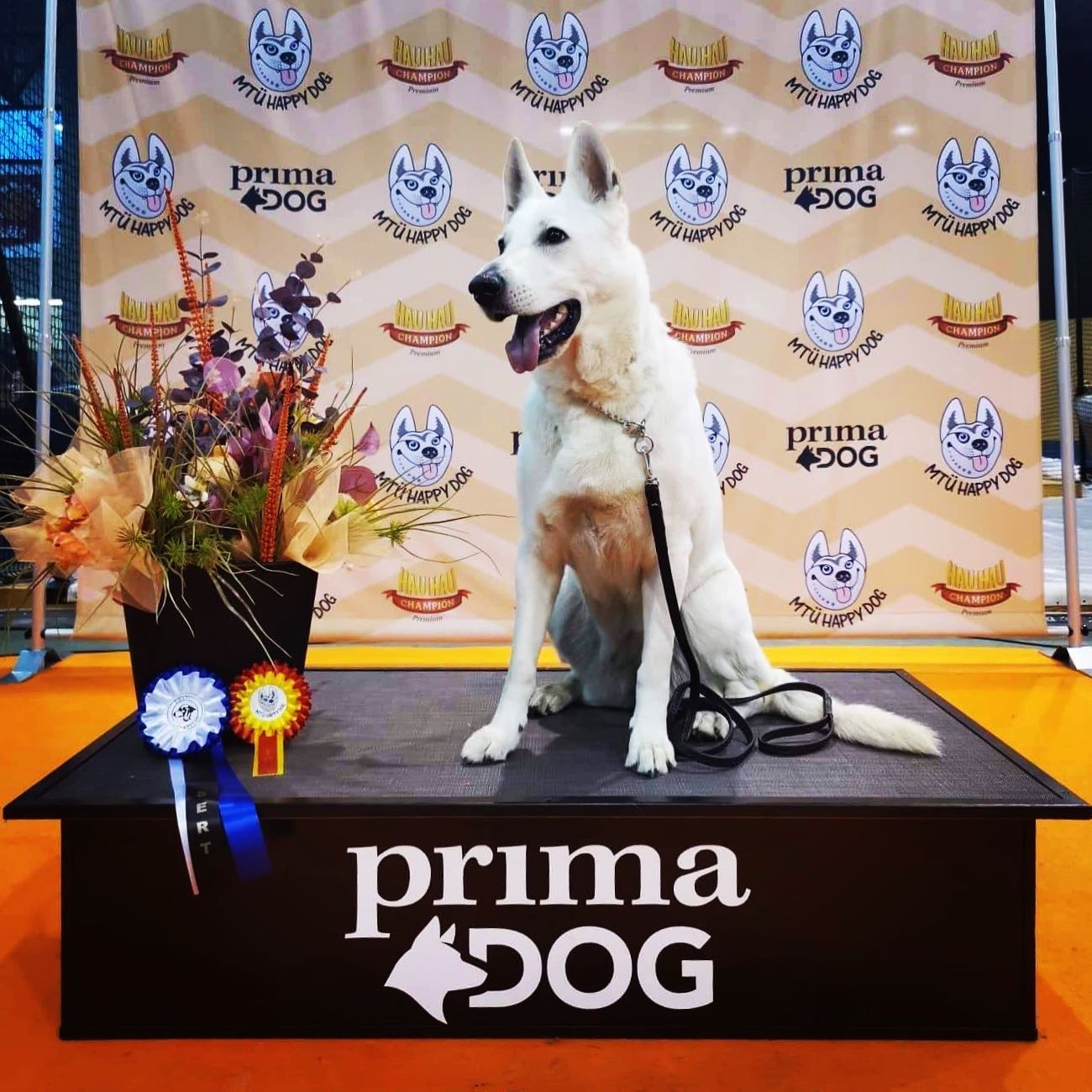 Dog Show Best Of Breed Champion White Shepherd