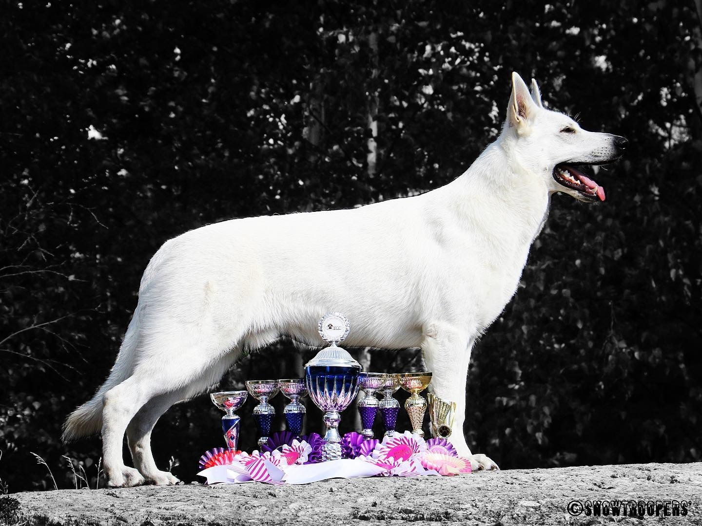 Born to Win White Prince Best of Breed CACIB
