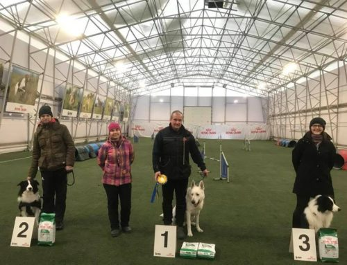 White Swiss Shepherd BTWW Cant 1 place in Agility Competition