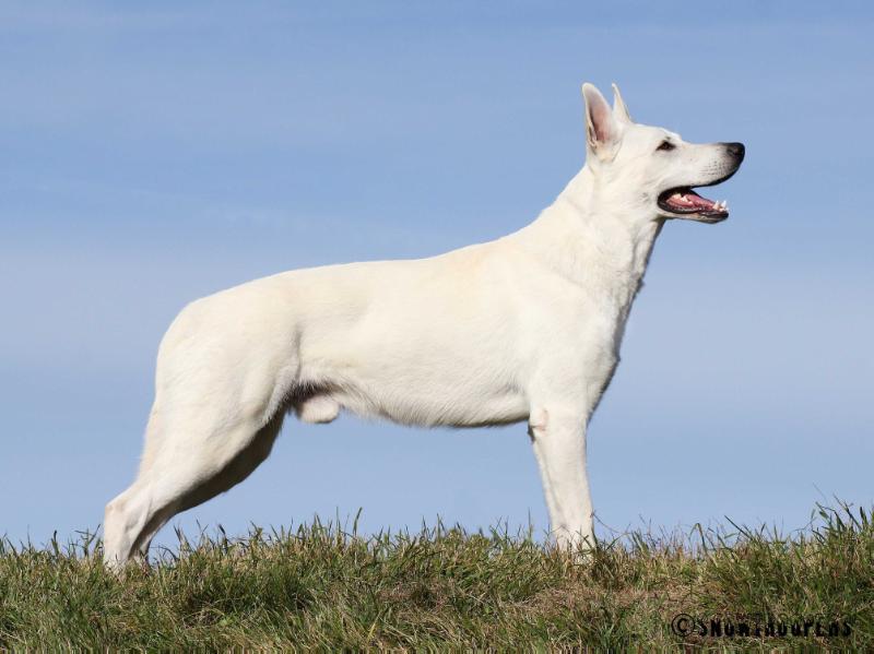 White-Shepherd-Breeding-Male-Born-to-Win-Warrior-Hooligan