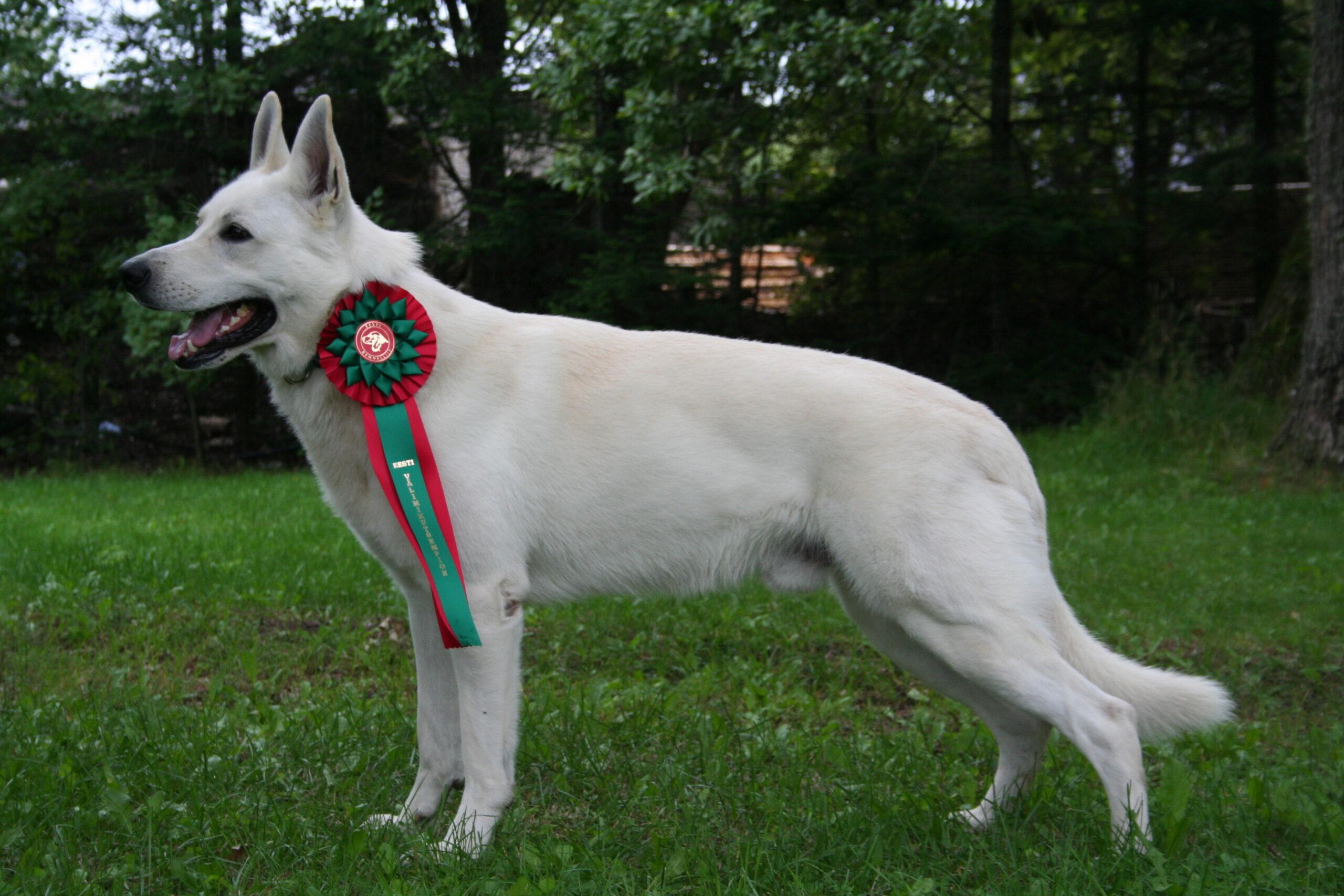 Šveitsi Valge Lambakoera kutsikad - Born to Win White Cant x Born to Win Warrior Sparta 2