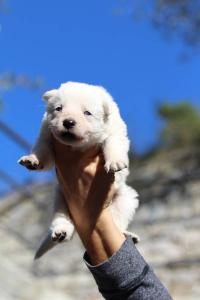White Swiss Shepherd Puppies BTWW A Litter 2017001