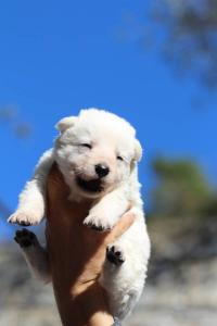 White Swiss Shepherd Puppies BTWW A Litter 2017002