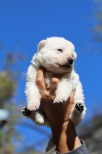 White Swiss Shepherd Puppies BTWW A Litter 2017003