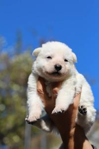 White Swiss Shepherd Puppies BTWW A Litter 2017004