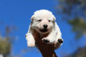 White Swiss Shepherd Puppies BTWW A Litter 2017007