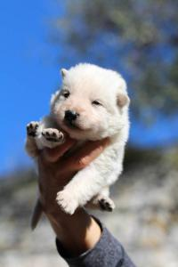 White Swiss Shepherd Puppies BTWW A Litter 2017008