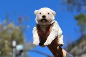 White Swiss Shepherd Puppies BTWW A Litter 2017009