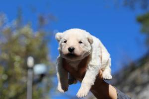 White Swiss Shepherd Puppies BTWW A Litter 2017011