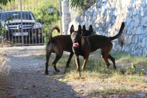 Belgian Malinois Born to Win Warrior Hyperion 17314