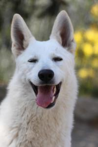 White-Swiss-Shepherd-Born-to-Win-White-Karma-032013